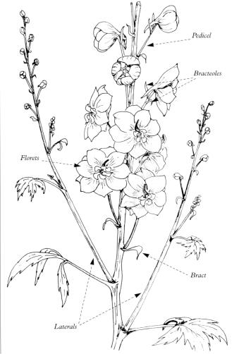 the main bloom is a collection of individual flowers